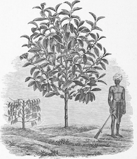 Farmer standing before a fruit tree